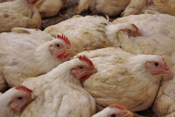 File:Poultry Chain Management.png